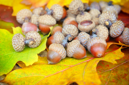 acorn: Acorns on background of colorful fall leaves