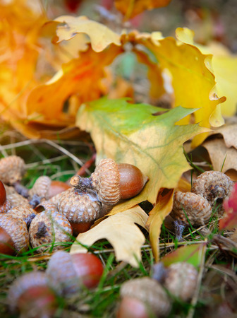 acorn seed: Brown acorns on autumn leaves, close up