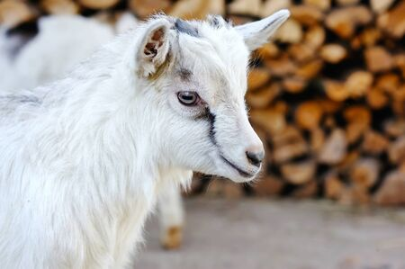 baby goat: A baby goat standing on the farm yard