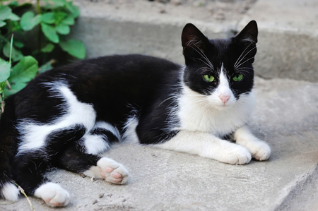 green eyes: Black and white cat with green eyes Stock Photo