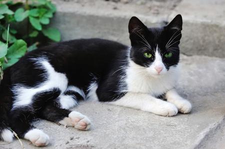 ojos verdes: Gato blanco y negro con los ojos verdes Foto de archivo