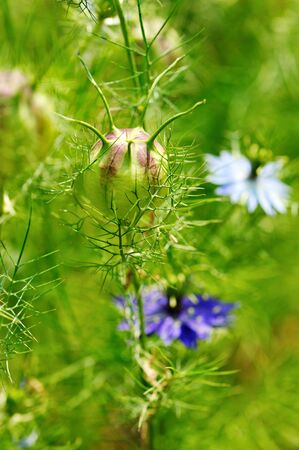 plant seed: Nigella seed capsule, Nigella sativa. Love-in-the-mist