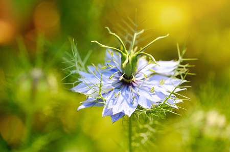 plant seed: Black seed, Nigella sativa, purple blue flower Stock Photo
