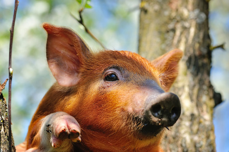pigling: Young red pig on outdoors
