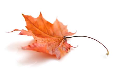 Herbst Ahornblatt isoliert auf weißem Hintergrund Standard-Bild