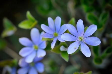 liverwort: Blooming in the spring forest Hepatica nobilis