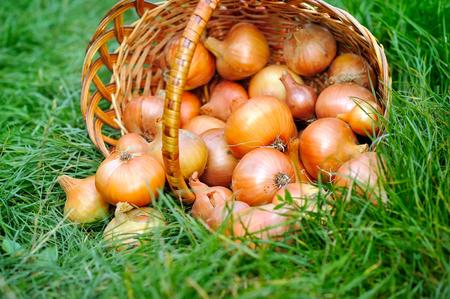 cebolla: Cebollas frescas en cesta en la hierba