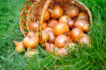 onion: Fresh onions in basket on grass Stock Photo
