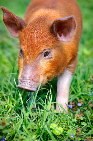 pigling: Young red pig on a green grass