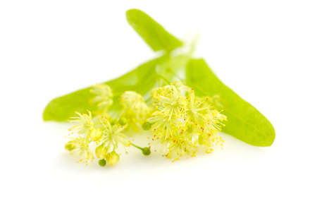 linden tree: Flowers of linden tree on a white background Stock Photo