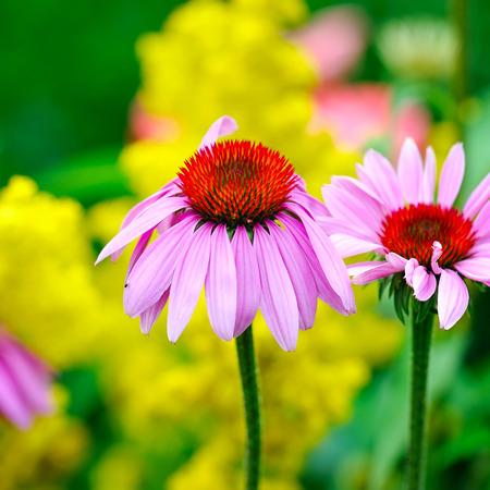 echinacea: Blooming Echinacea purpurea, medicinal herb Stock Photo