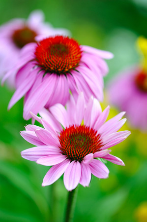 medicinal: Blooming Echinacea purpurea, medicinal herb Stock Photo