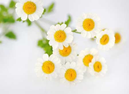 matricaria: Chamomile flower