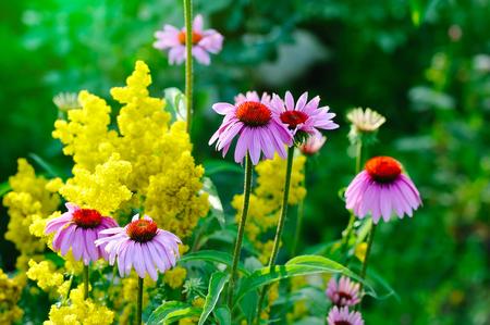 purpurea: Blooming Echinacea purpurea, medicinal herb Stock Photo