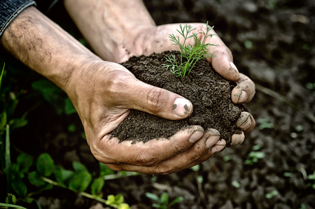 earth handful: Farmer hands holding young dill with soil Stock Photo