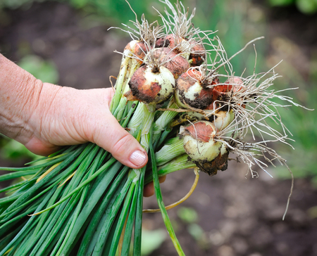 plucked: A young onion is just plucked