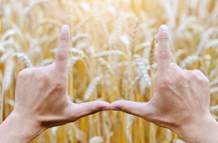 cereals holding hands: Hands making a frame over the wheat field