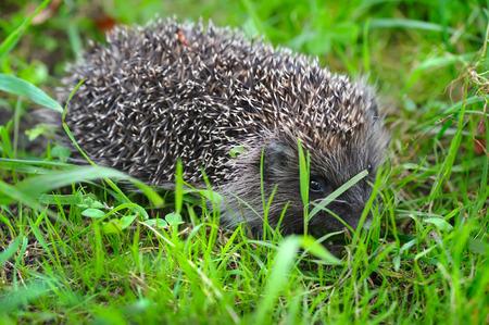 western european: Western European Hedgehog (Erinaceus) in a grass Stock Photo