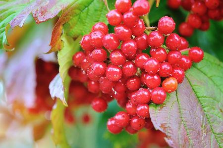 guelder rose berry: Guelder rose, Viburnum opulus, bunch of red berries with dew