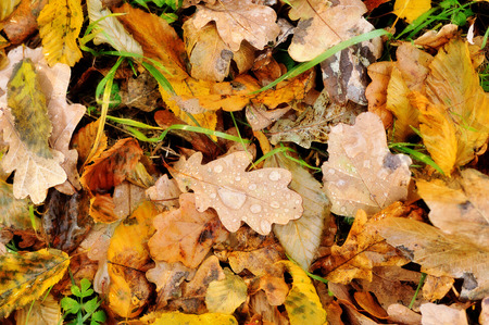 dry leaves: Colorful autumn leaves with drops of dew