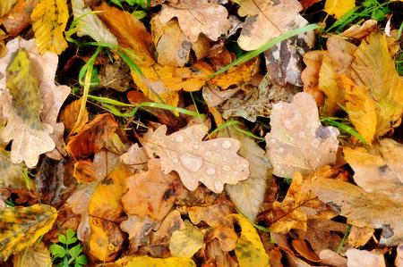 hojas secas: Hojas de otoño coloridas con gotas de rocío Foto de archivo