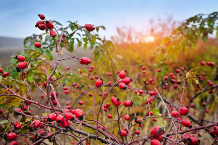 Rosehip bush on a nice autumn background at sunset Stok Fotoğraf
