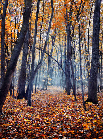 misty forest: Autumn misty forest