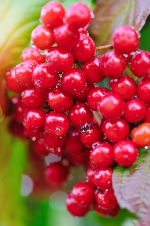 guelder: Guelder rose, Viburnum opulus, bunch of red berries with dew