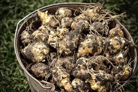 dug: Freshly dug Jerusalem artichoke (Helianthus tuberosus)