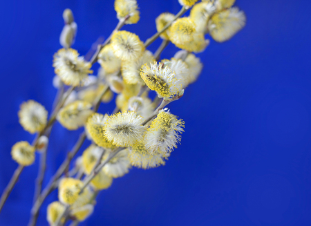 pussy yellow: Yellow pussy willow branches on a blue background Stock Photo