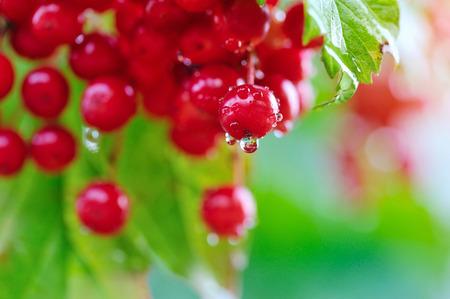 guelder rose: Guelder rose, Viburnum opulus, red berries with dew