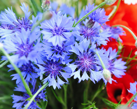 centaurea: Floral background is with cornflowers (Centaurea cyanus) Stock Photo