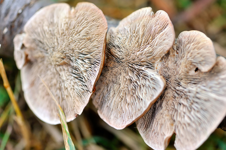 lucidum: Close-up Mushroom (Ganoderma lucidum) view from below