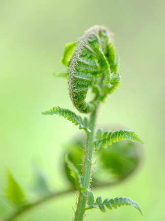 unfurling: Sprout of fern Stock Photo