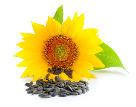 plant seed: Yellow sunflower and sunflower seeds on a white background