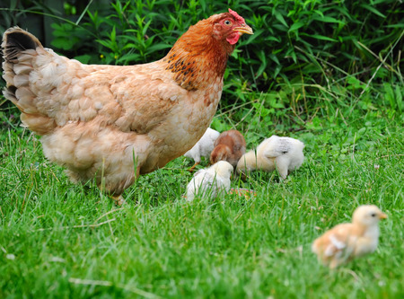 Hen with chickens 写真素材