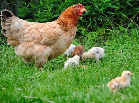 Kip met kippen