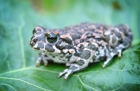 viridis: Green frog (Bufo viridis) on a green leaf