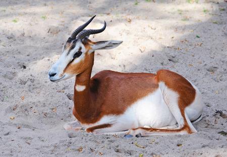 antidorcas: Springbok antelope (Antidorcas marsupialis) Stock Photo