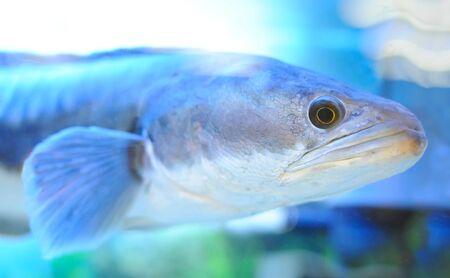 predatory: Exotic predatory fish close Stock Photo