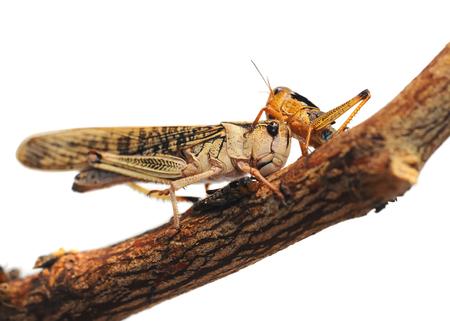 langosta: Locust es en una rama sobre un fondo blanco Foto de archivo