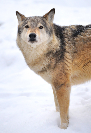 animal eyes: Beautiful wild gray wolf in winter