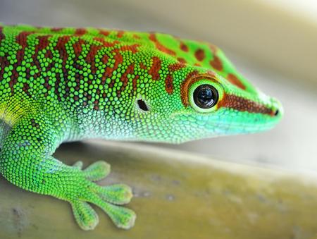 lagartija: lagarto gecko verde Foto de archivo