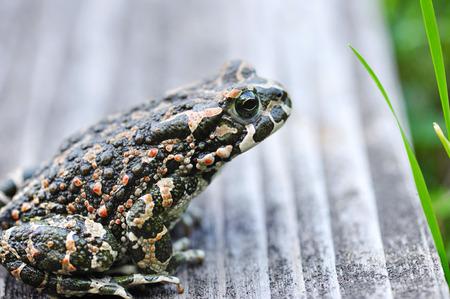 viridis: Green frog (Bufo viridis)