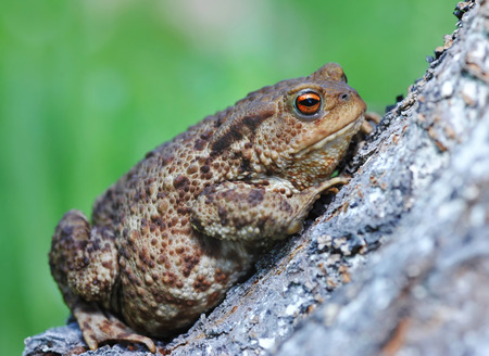 bufo toad: European toad (Bufo bufo)