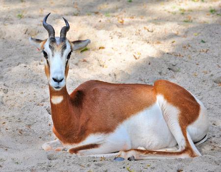 springbuck: Springbok antelope (Antidorcas marsupialis) Stock Photo
