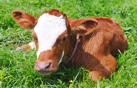 Pasgeboren kalf op een groen gras Stockfoto