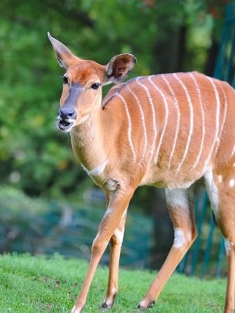 bongo: Bongo antelope