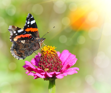 admiral: Red admiral (Vanessa atalanta), soft focus Stock Photo