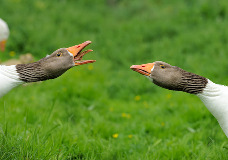 defensive: Geese with a defensive attitude Stock Photo